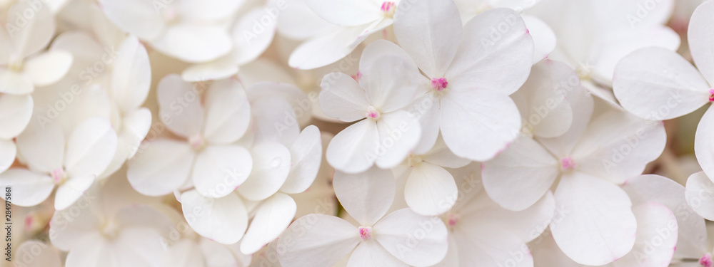Fototapety, obrazy: White hydrangea flowers panoramic border, banner, wedding romantic background. Flat lay.