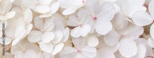 Foto op Plexiglas Hydrangea White hydrangea flowers panoramic border, banner, wedding romantic background. Flat lay.