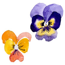 Ornament With Pansies Botanical Flowers. Watercolor Background Illustration Set. Isolated Viola Illustration Element.