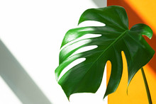 Monstera In The Sun. Beautiful Combination Of Colors: Green, White, Orange. Details Of The Modern Interior.