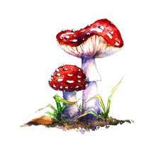 Hand-drawn Watercolor Illustration Depicting Two Bright Red Mushrooms. Two Mushrooms In Watercolor Sketch Style. Two Poisonous Toadstools On A White Background