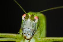 Macro Photo Of A Green Grasshopper