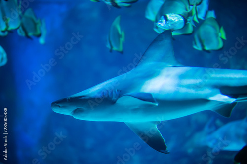 The great white shark in the big blue Wallpaper Mural