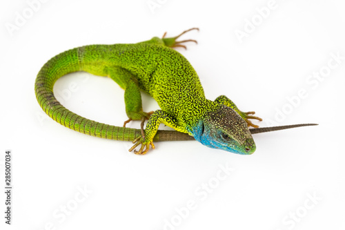 Green lizard isolated on white background Fototapet
