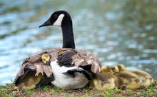 Baby Canada Goose Goslings Snuggling Under The Wing Of The Protective Mother Goose
