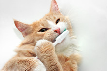 Red Cat Playing With Toothbrush In White Bath Tub