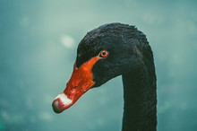 Portrait Of A Black Swan (Cygnus Atratus)