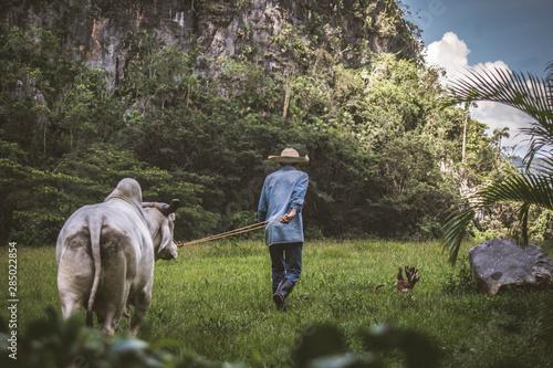 vaca blanca con joroba Canvas Print