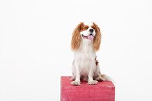Smart Dog. Cavalier King Charl...