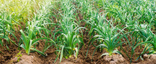 Rows Of Young Leek On A Farm O...