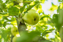 Close-up Of Green Apples Hanging Off A Branch