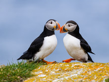 Two Atlantic Puffins Standing On Cliff's Rock With Green Grass  Against Blue Ocean Water, Portrait
