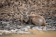 Sambar deer or Rusa unicolor cooling off and playing in mud water near pond at ranthambore national park, rajasthan, india