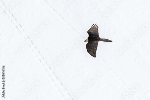 Fotografía Bearded vulture (gypaetus barbatus) flying with outstretched wings above mountains covered by snow and searching for corpses, Winter mountains scenery