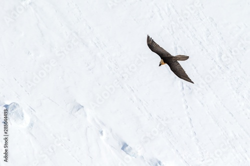 Fotomural  Bearded vulture (gypaetus barbatus) flying with outstretched wings above mountains covered by snow and searching for corpses, Winter mountains scenery