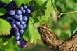 canvas print picture - Grappe de raisin noir sur un pied de vigne, entourée de feuilles vertes