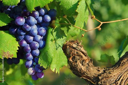 Fototapeta Grappe de raisin noir sur un pied de vigne, entourée de feuilles vertes obraz