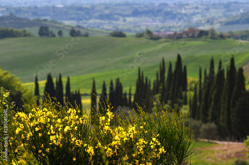 Spoed Fotobehang Zalm Typical tuscany landscape near Siena with green rolling hills, cypress trees and yellow broom flowers on foreground. Italy
