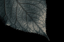 Abstract Black And White Leaf ...