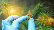 canvas print picture scientist with gloves holding cannabis bud and checking hemp plants. Concept of herbal alternative medicine, cbd oil, pharmaceutical industry