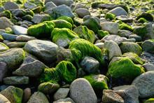 Algues Sur Des Galets