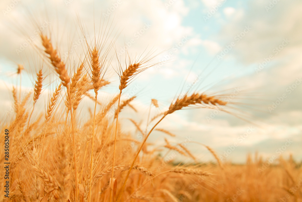 Fototapety, obrazy: Wheat field with Ears of golden wheat. Rural Scenery under Shining Sunlight. Background of ripening ears of wheat field. Rich harvest Concept.