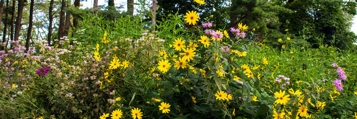 Native wildflowers on the prairie at Moraine Hills State Park in Illinois