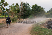 Flock Of Ducks Herding On Dirt...