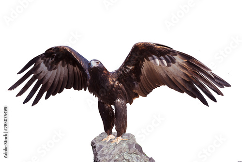 Majestic wedge-tailed eagle (Aquila audax) Wallpaper Mural