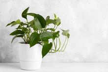 Devil's Ivy In A White Modern Pot