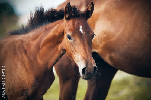 Fotomural A cute shy foal of a bay suit with a white spot on his forehead stands near his