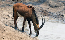 Young Male Sable Antelope Drain King