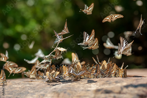 Fotografie, Obraz  The butterflies flying beautifully in nature,butterfly (commonname Chain Swordta