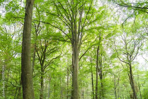 Photo Beech trees green forest landscape