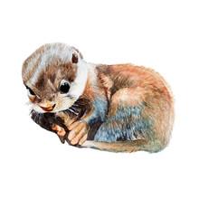 Otter Watercolor Isolated .Ott...