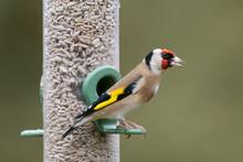 Goldfinch Feeder Portrait