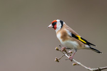 Goldfinch Winter Profile Portrait