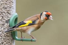 Goldfinch Sunflower Seed Feeder
