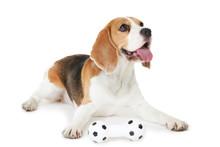 Beagle Dog With Toy Isolated On White Background
