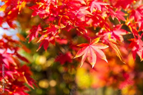 Autumn Maple Tree Background.Seoul Korea #285091015