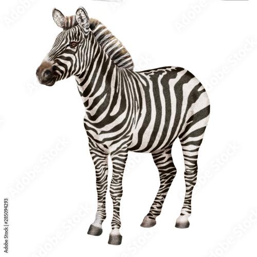 Poster Zebra zèbre, zebras, animal, mammifère, isolé, blanc, safari, noir, faune, sauvage, jardin zoologique, cheval, rayes, nature, bande, equus, debout, faune, savane, foulé, herbivore, animal, gazon, crin