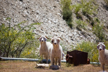 Close Up Image Of Angora Goats...