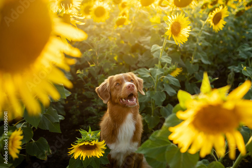 dog in a field of sunflowers. Nova Scotia duck tolling Retriever in nature. Sunny happy pet