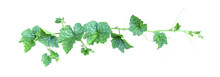 Pumpkin Vine With Green Leaves...