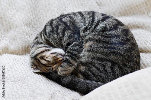 Fotografía curled up tabby cat sleeping on pillows