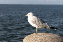 Ring-Billed Gull, A Species Of Seagulls, At The Lake Metropark Along Lake Erie Coastline In Cleveland Ohio