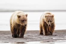 USA, Alaska, Brown Bear At Lake Clark National Park And Preserve