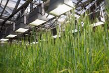 Barley Hordeum Vulgare, Panicles, Close Up
