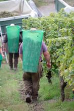 Men Harvesting Wine