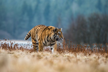 Siberian Tiger Running. Beauti...